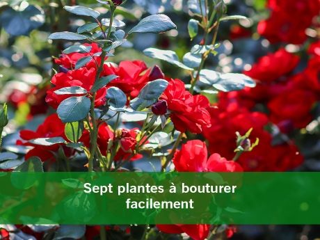Sept plantes à bouturer facilement