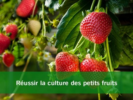 Plantation petits fruits